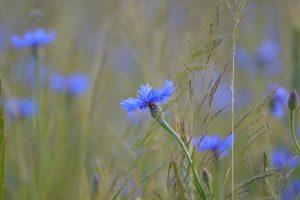 cornflower-1814708_1920